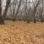 太原のイチョウ落葉と駐車場閉場のお知らせ